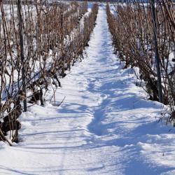 Vigne sous la neige (3) D. Dumont