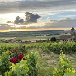 La vigne au matin D. Gimonnet